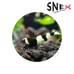 Taiwan Bee Panda