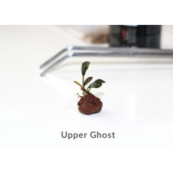 Bucephalandra B. Upper Ghost