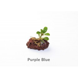 Bucephalandra Purple Blue